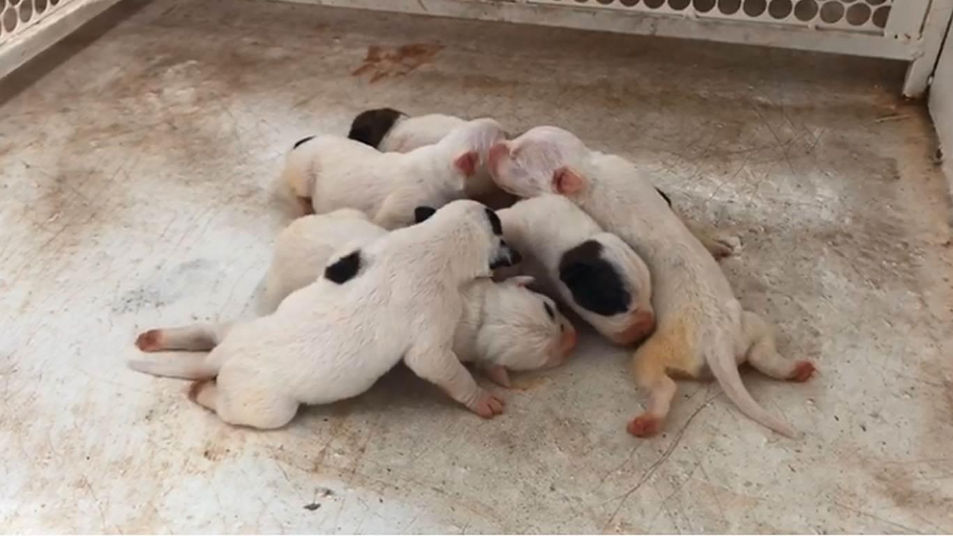 Pitbulls não tinham condições mínimas de alimentação ou higiene no local | Foto: Divulgação / Deam