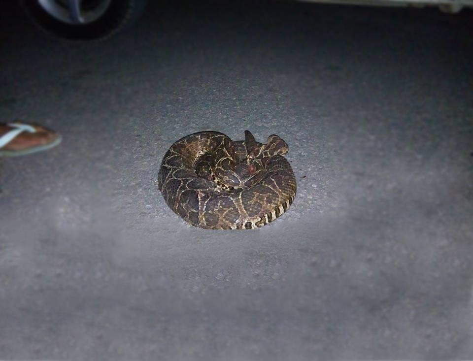 Cobra cascavel assusta moradores de condomínio em Anápolis   Foto: Leitor/Whatsapp