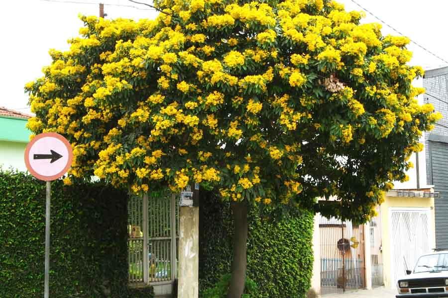 Árvore na calçada em frente a residência | Foto: Mauro Guanandi